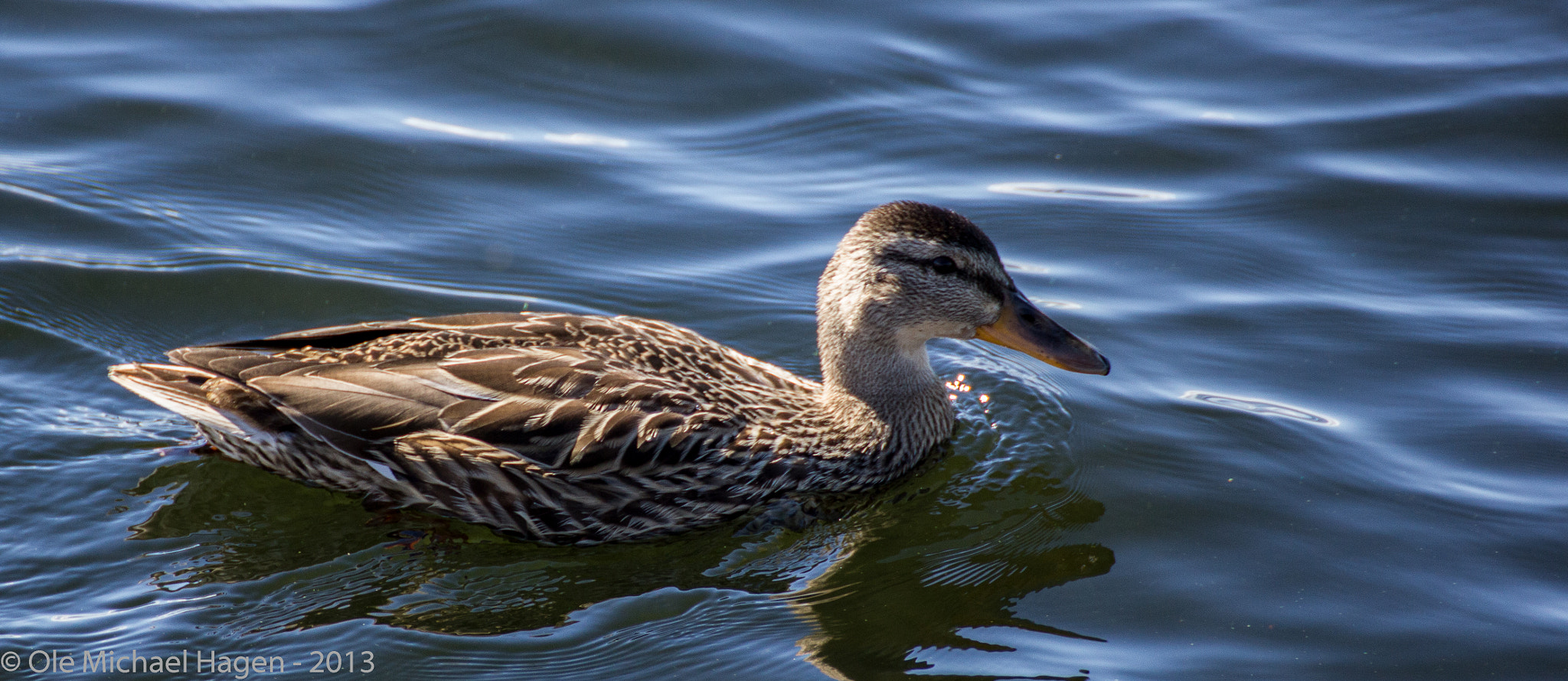 Photograph Duck by Ole Michael Hagen on 500px