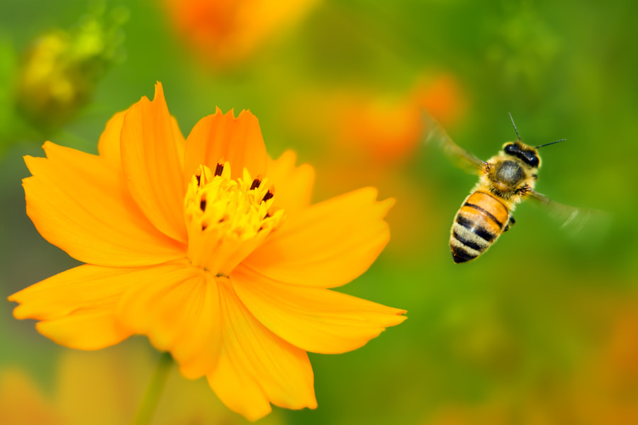 Bee and Cosmoses, автор — FuYi Chen на 500px.com