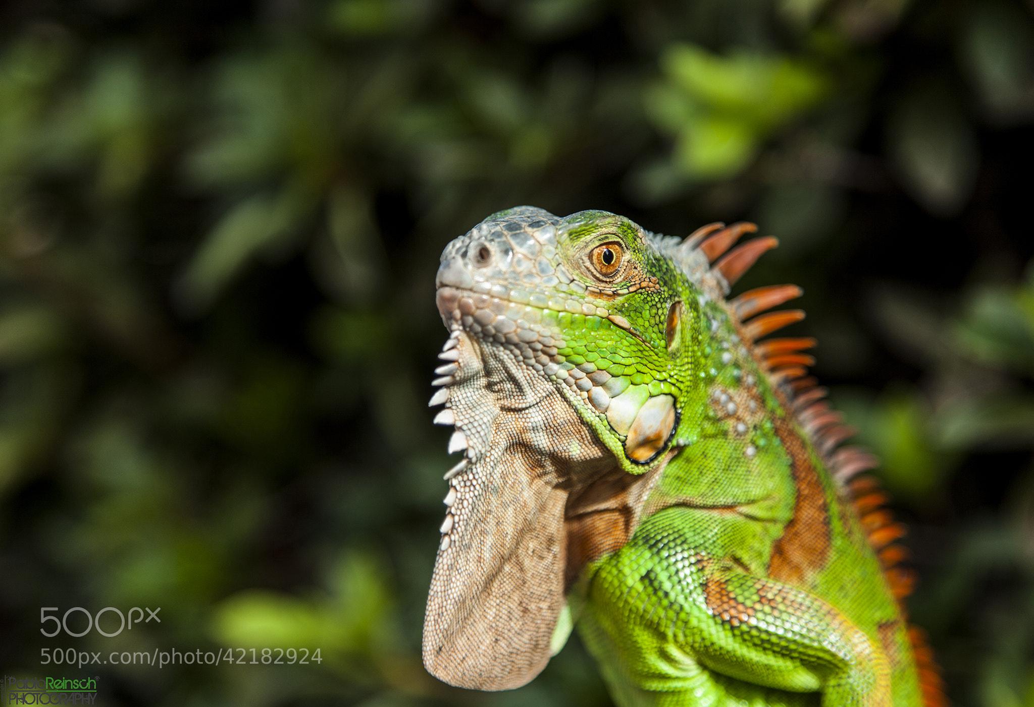 Photograph Iguana.- by Pablo Reinsch on 500px
