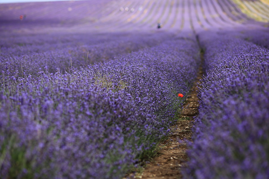 Lavender field, Hitchin