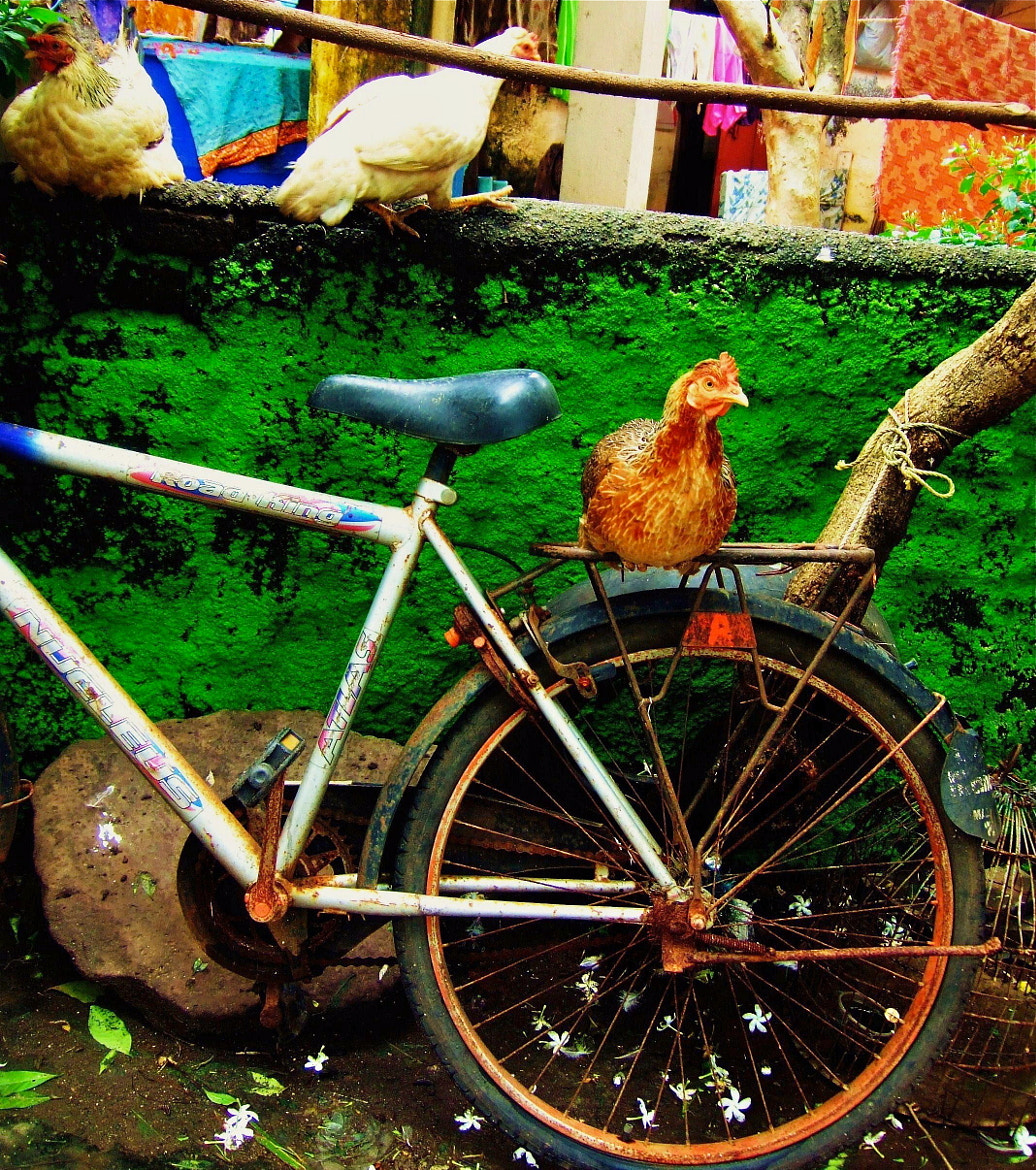 Photograph chicken, india by Sean  Blacknell on 500px