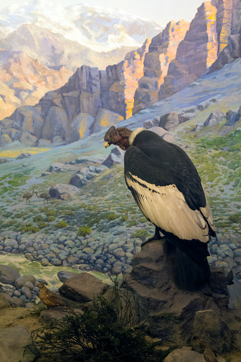 Photograph Andean Condor (Vultur Gryphus) by Scott Nelson on 500px