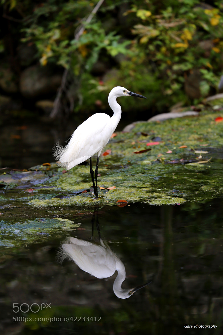 Photograph The rest of the white heron by garywu on 500px
