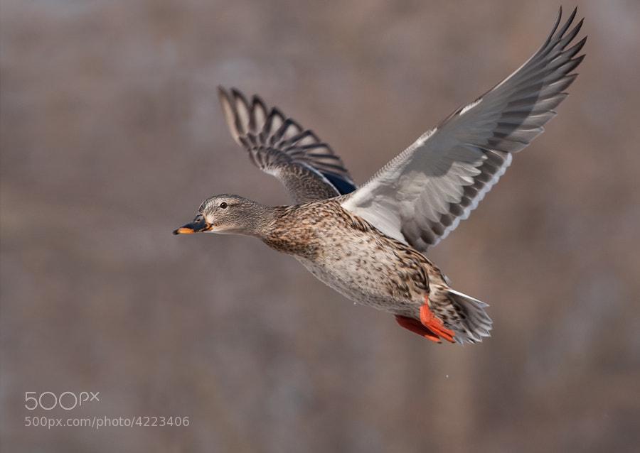 Photograph Mallard in Flight by Derek Griggs on 500px