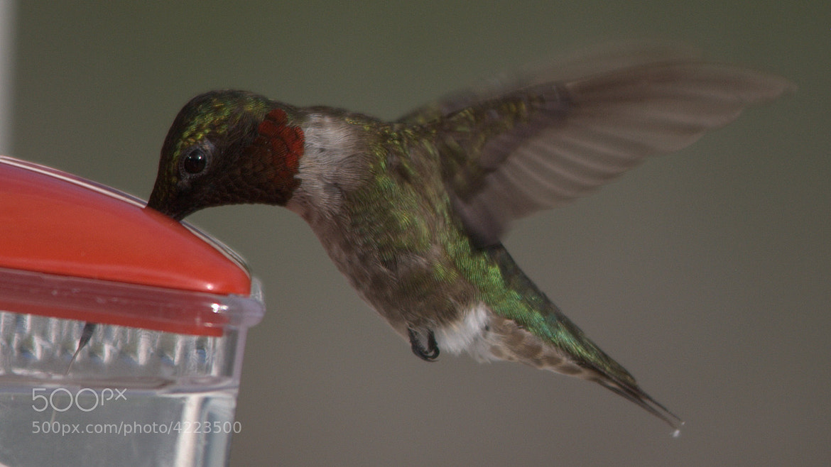 Photograph Hummingbird by Patrick Archibald on 500px
