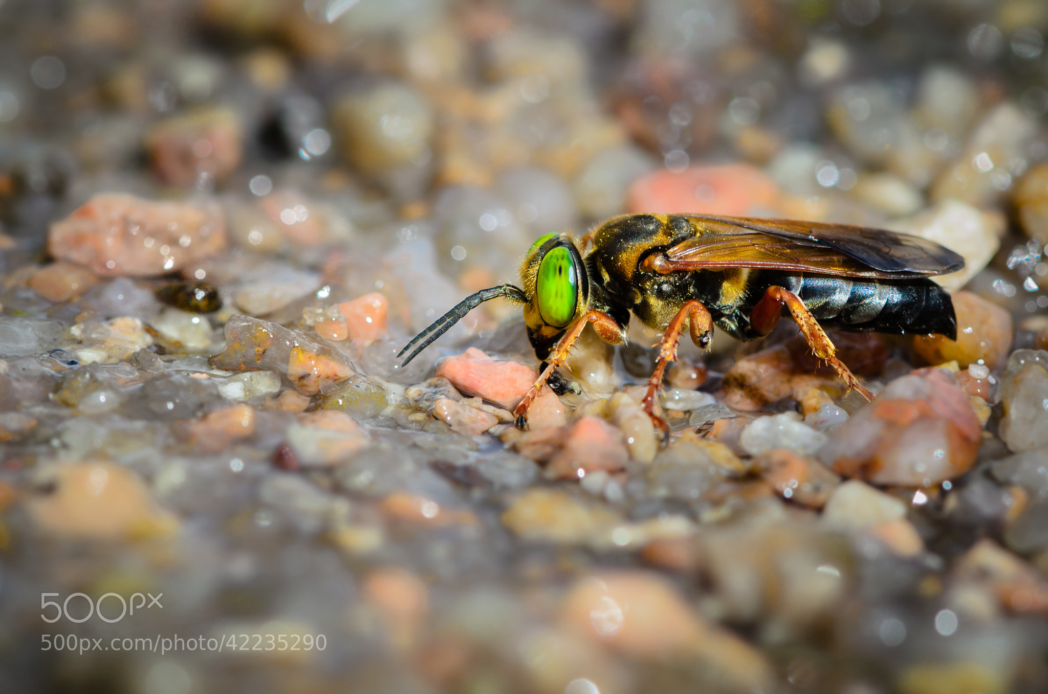 Photograph Thirsty hornet by Raed Ammari on 500px