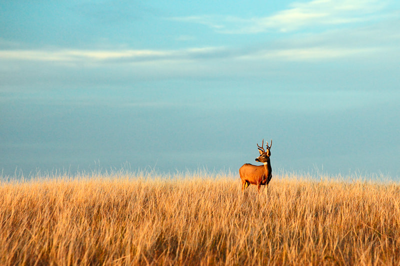 Photograph Fort Peck Buck by Todd Klassy on 500px