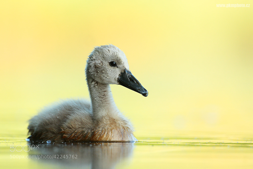 Photograph Little Swan by Peter Krejzl on 500px