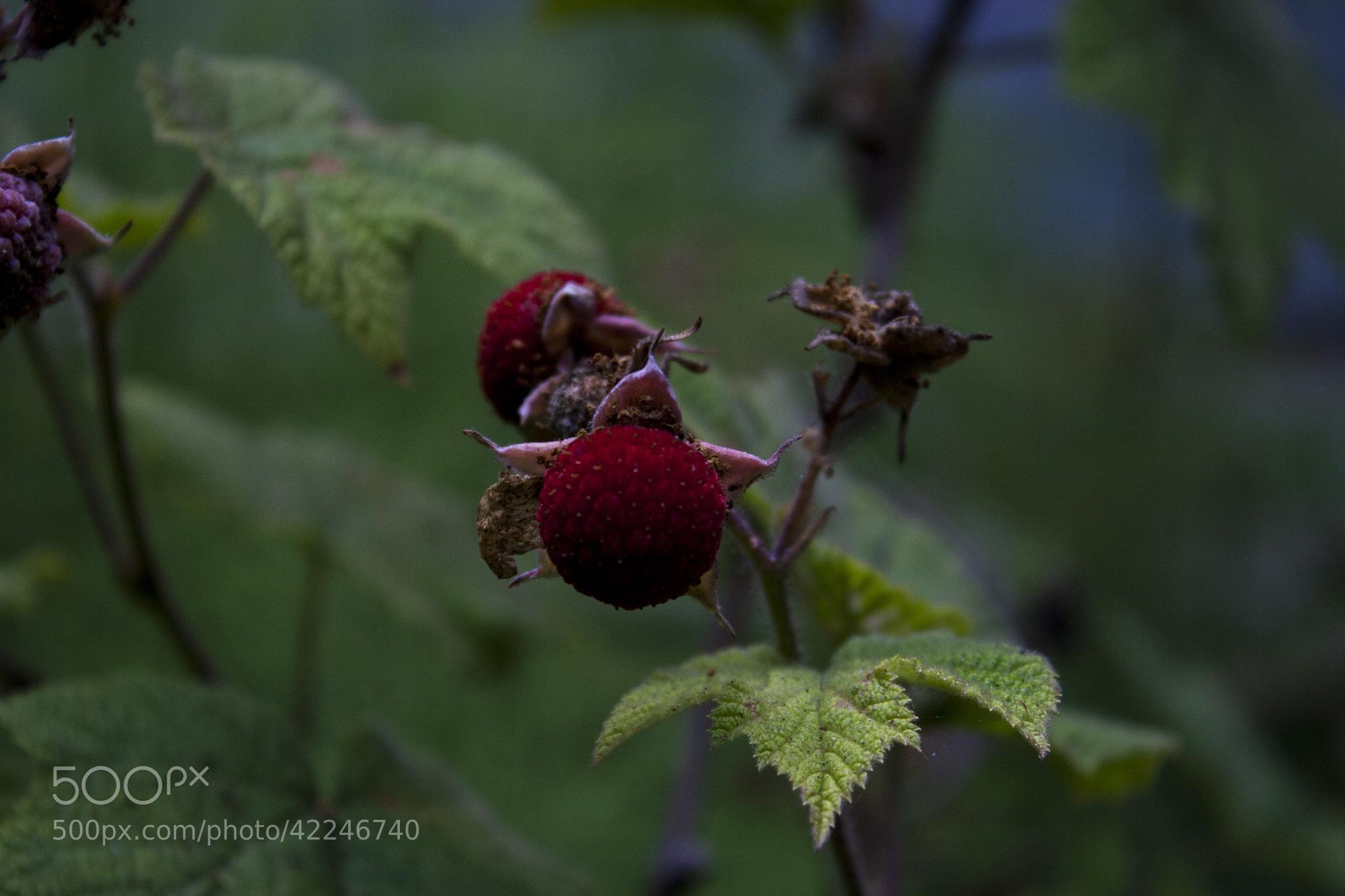 Photograph Wild raspberries by Kira Saprykina on 500px
