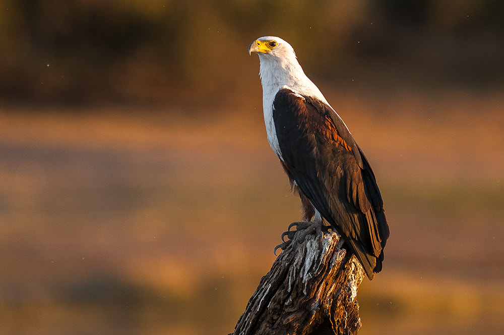 Photograph African Fish Eagle by Amazing Views Photography on 500px