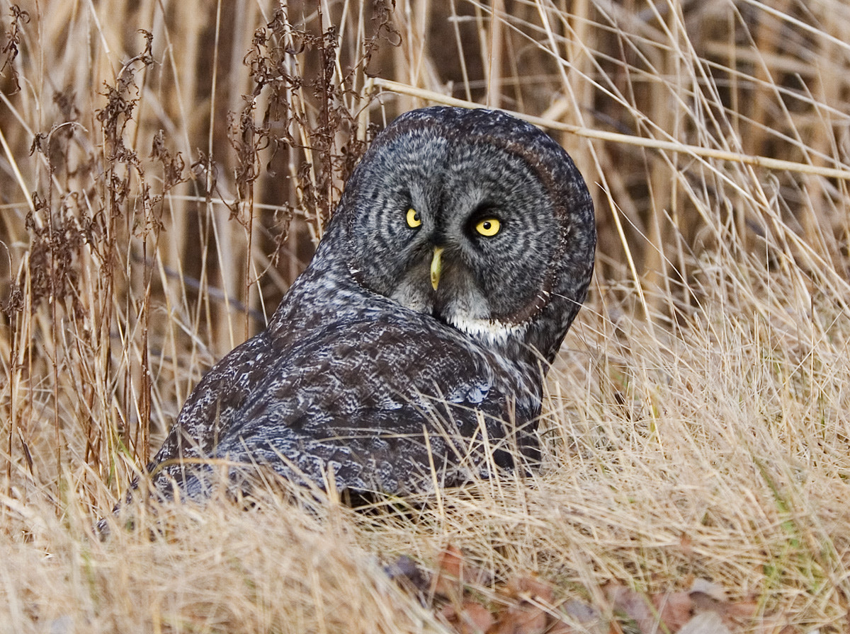 Photograph Great Gray Owl on a Vole by Phil Armishaw on 500px