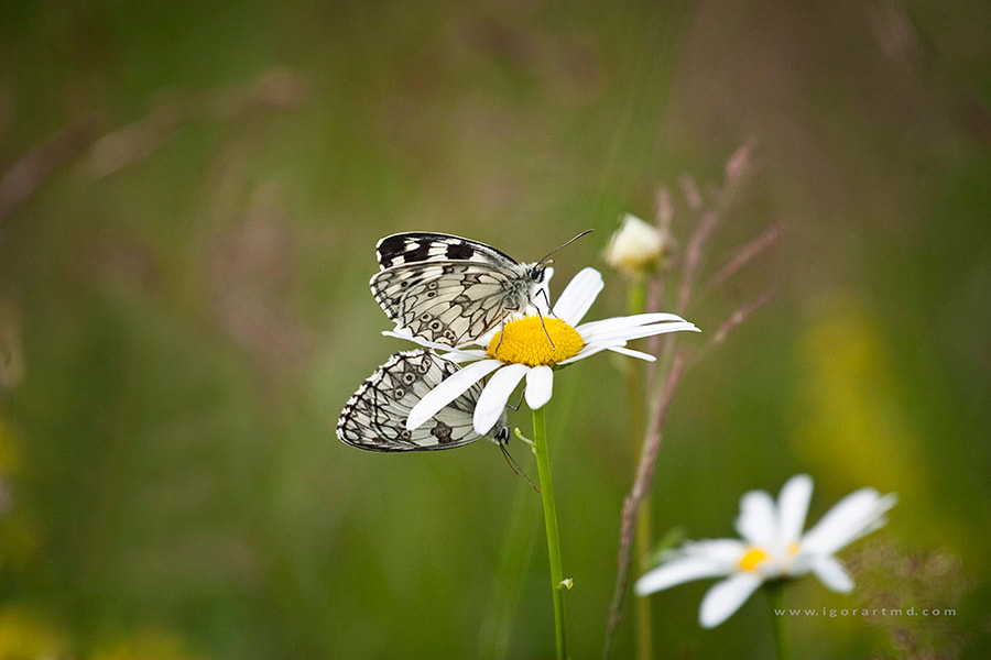 Photograph butterfly 2 by Igor Sirbu on 500px