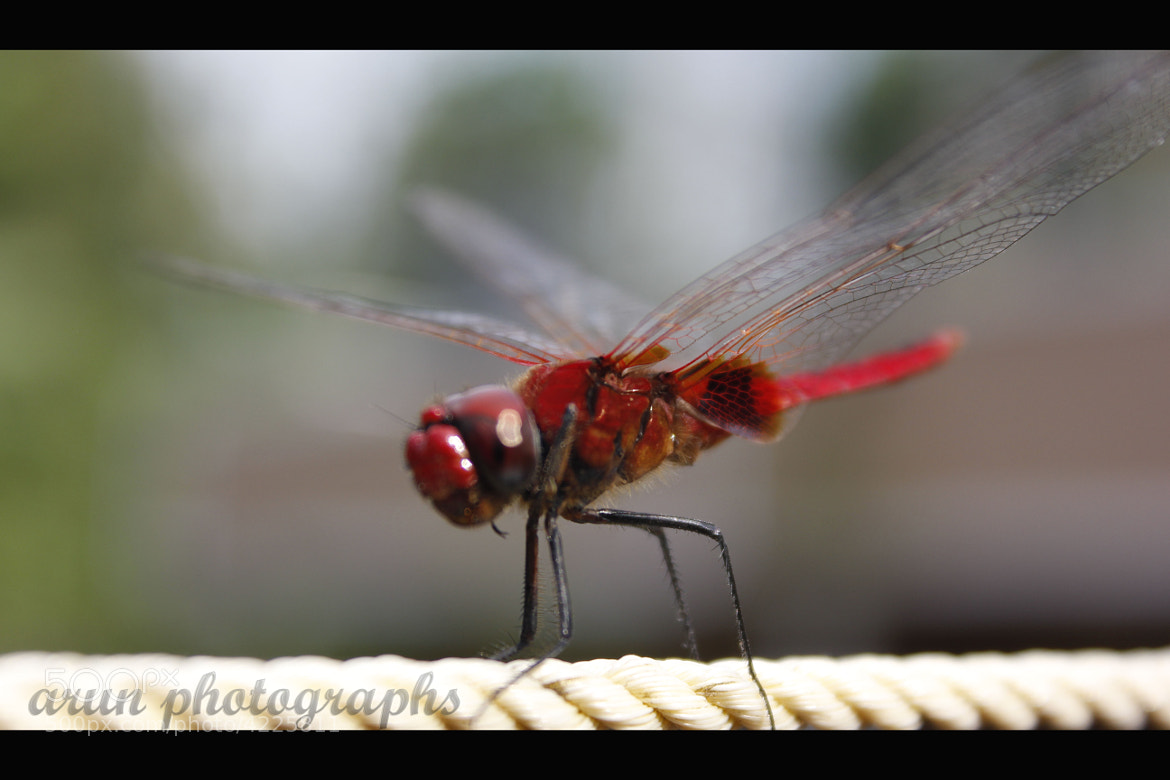 Photograph Dragonfly by Arun P. Nair on 500px