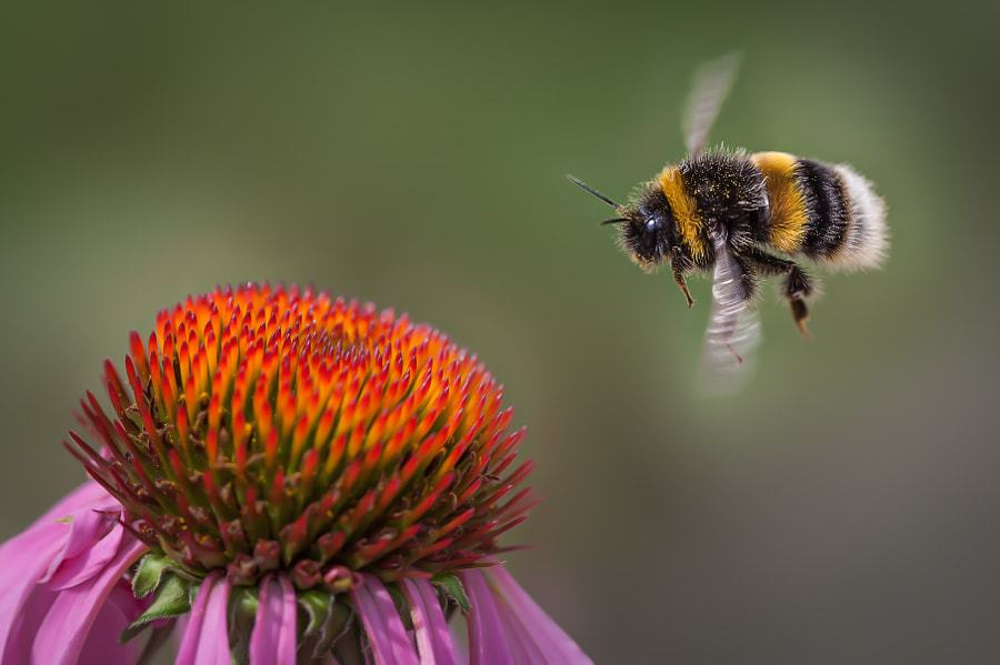 The Flight of the Bumble Bee by Tony Antoniou on 500px.com