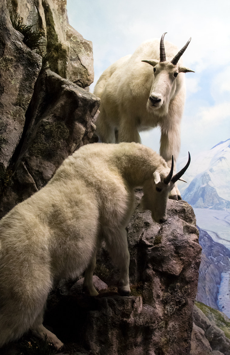 Photograph Mountain Goat (Oreamnos Americnus) by Scott Nelson on 500px