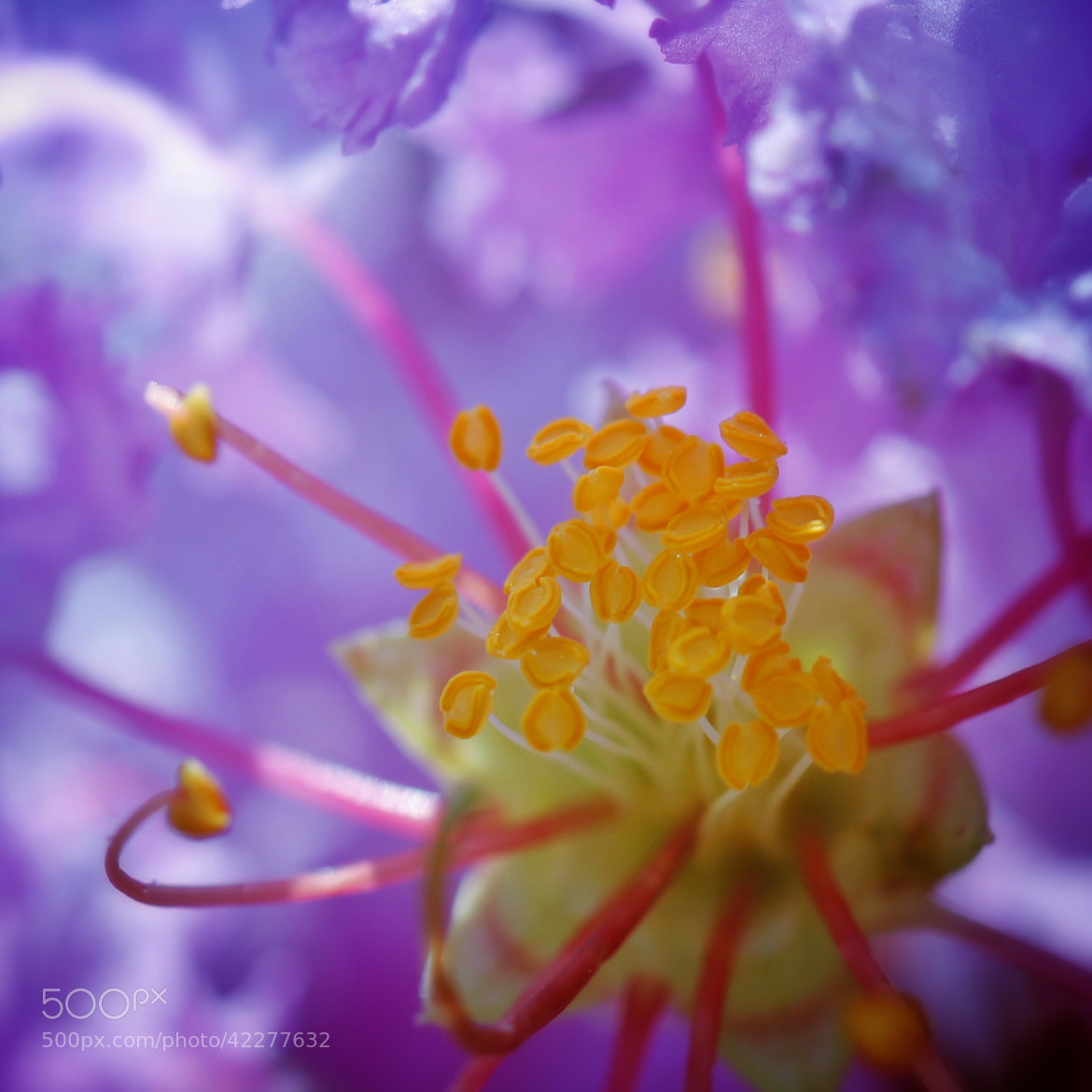 Heart of the Crepe Myrtle by Lisa Miller on 500px.com
