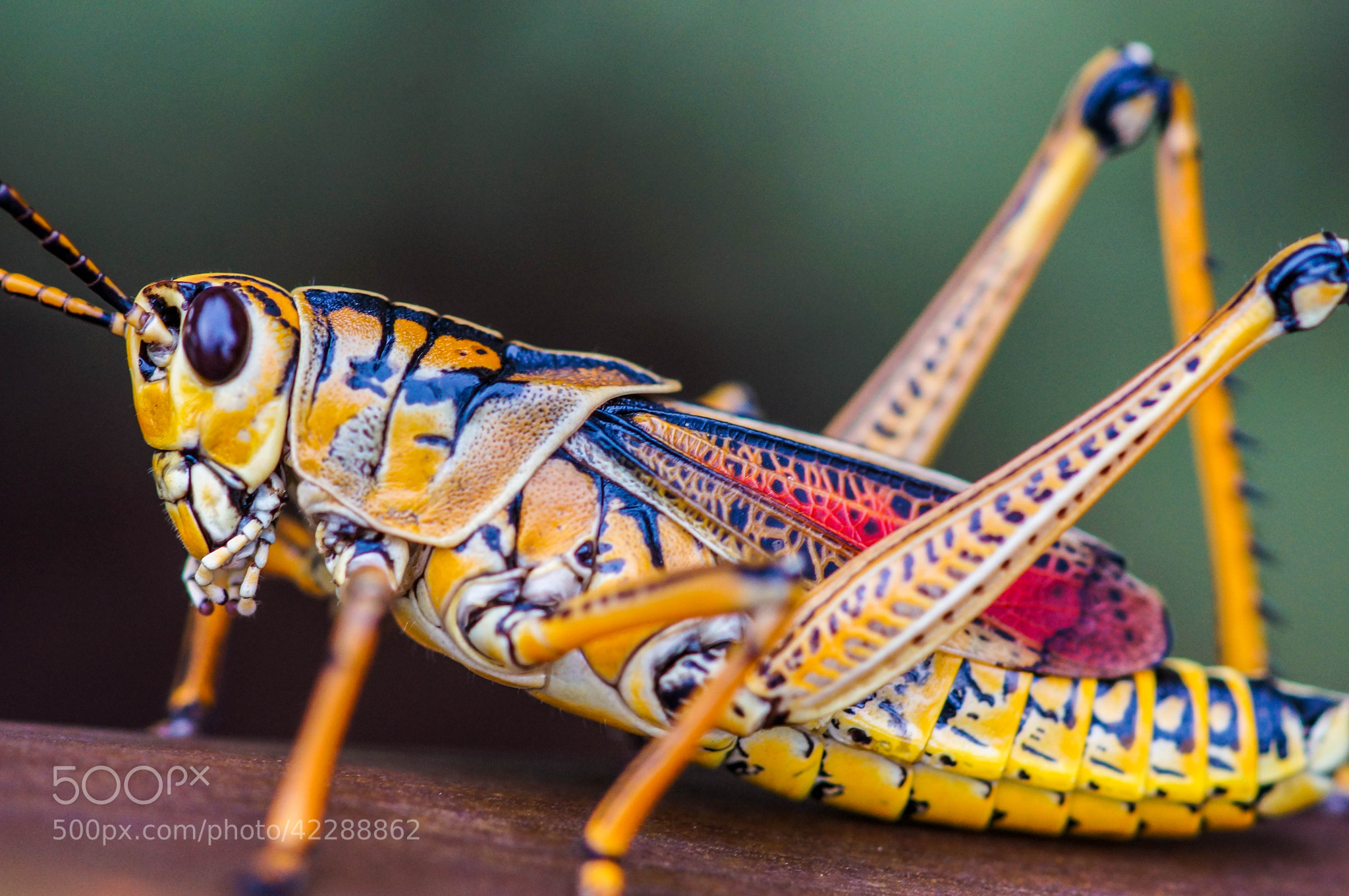 Photograph Grasshopper by Alyssa Paraggio on 500px