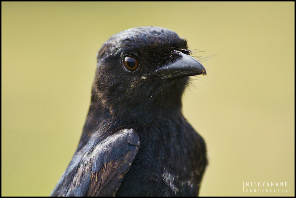 Photograph Drongo by Nithy Anand on 500px