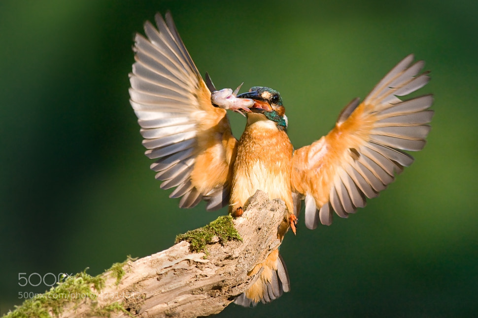 Photograph Proud kingfisher by Jakub Mrocek on 500px