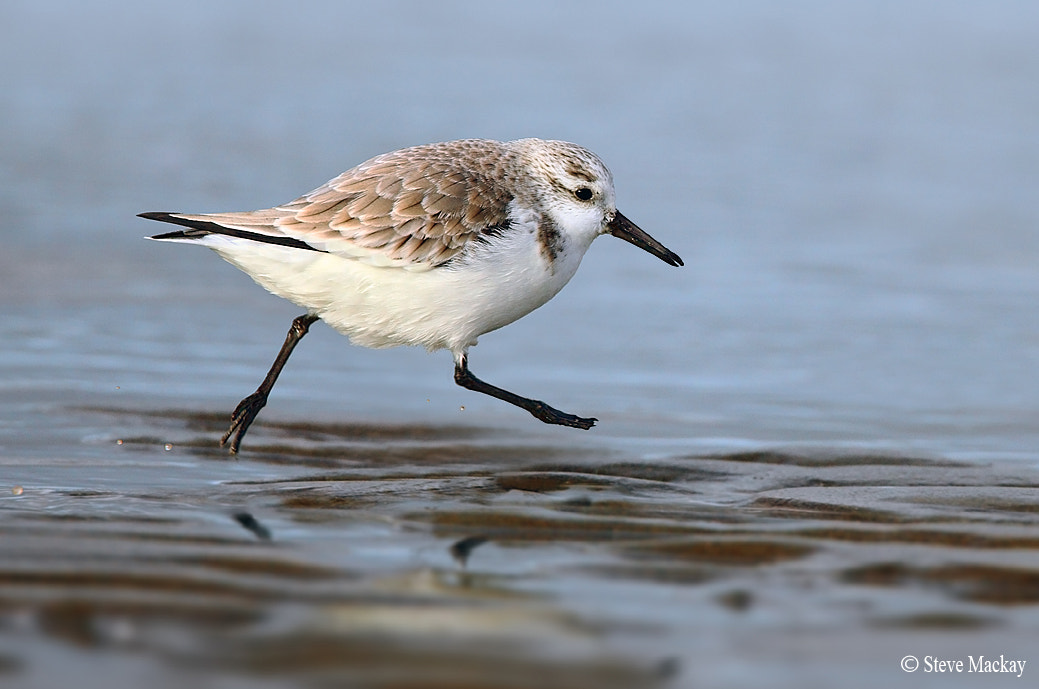 Photograph Sanderling by Steve Mackay on 500px