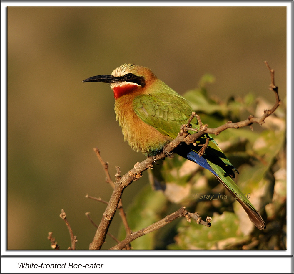 Photograph White-fronted Bee-eater by Graham Turner on 500px