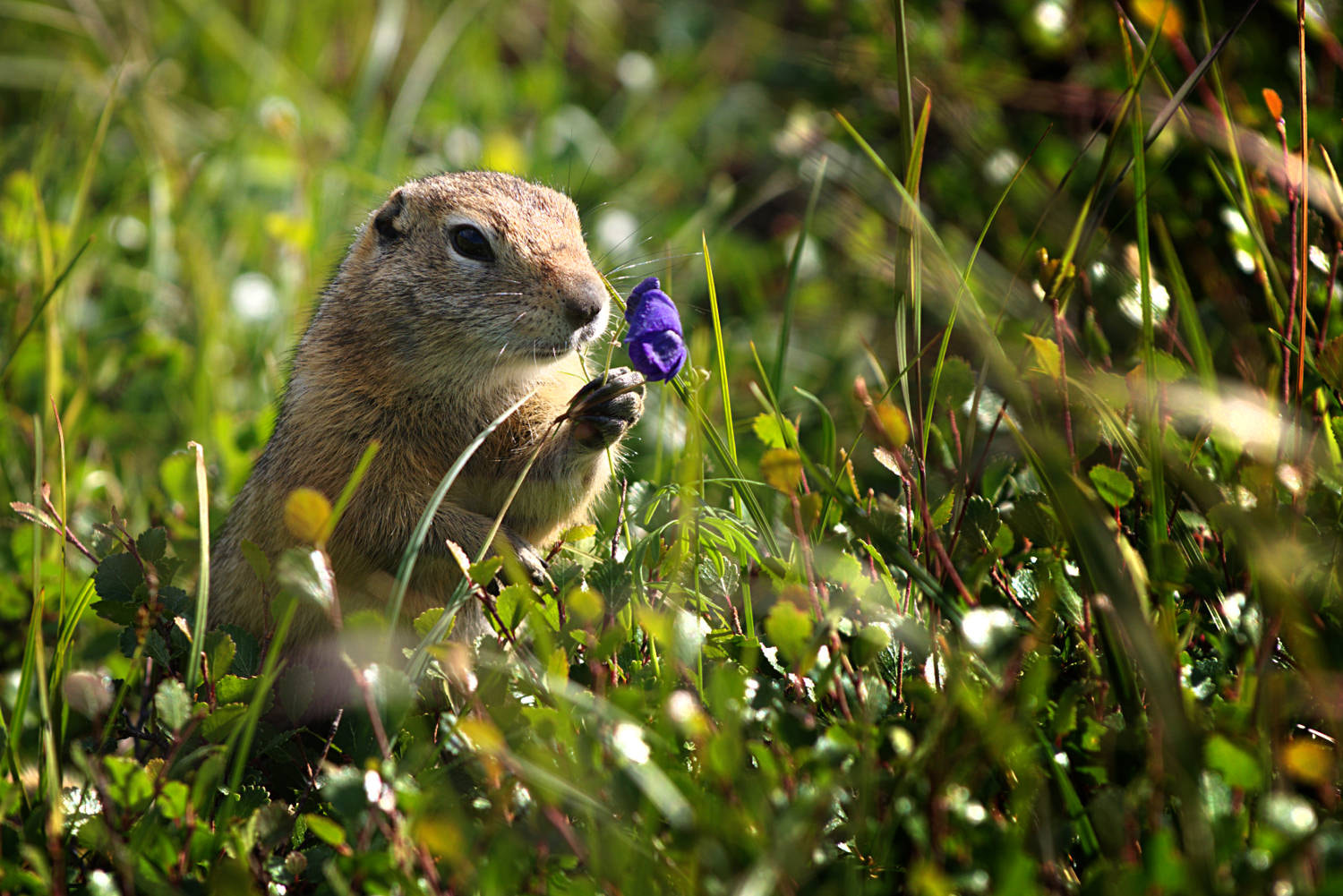 Photograph Prarie Dog with Flower by Jeff Preletz on 500px
