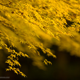 Mellow Yellow Maple by Martin Bailey (martinbailey)) on 500px.com