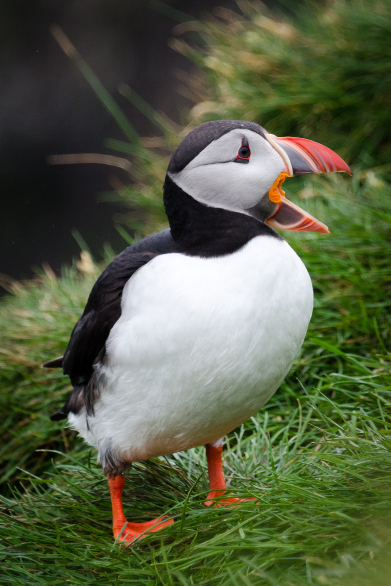 Photograph Atlantic Puffin (Iceland) by Simon Gelfand on 500px