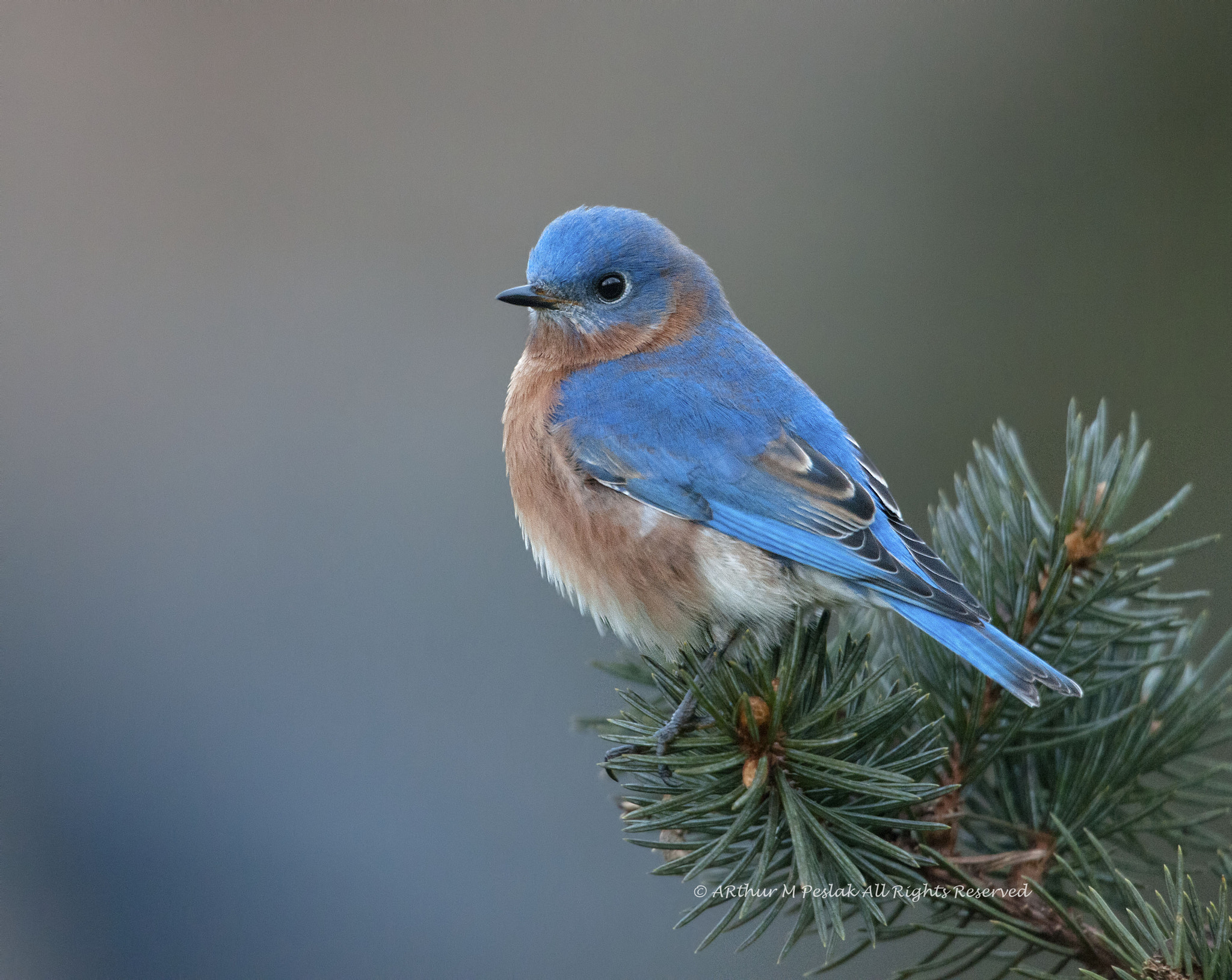 Photograph Eastern Bluebird by Art Peslak on 500px