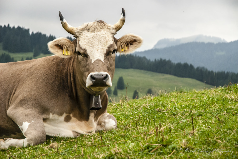 Photograph Swiss cows 3 by Paul Cronenberg on 500px