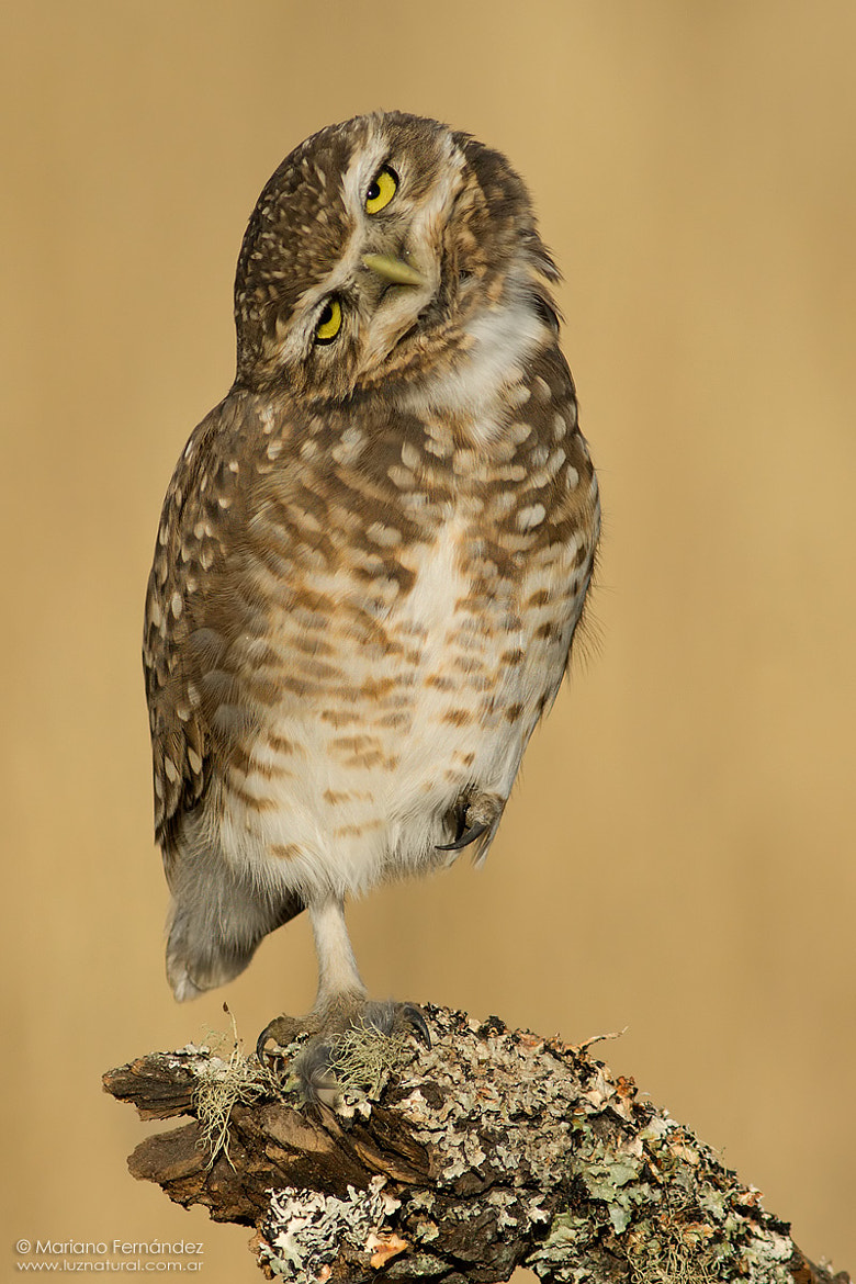Photograph Burrowing Owl by Mariano Fernández on 500px