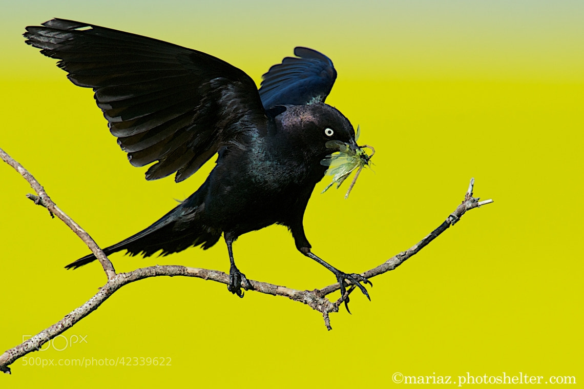 Photograph Blackbird by Mary Koutzarov on 500px