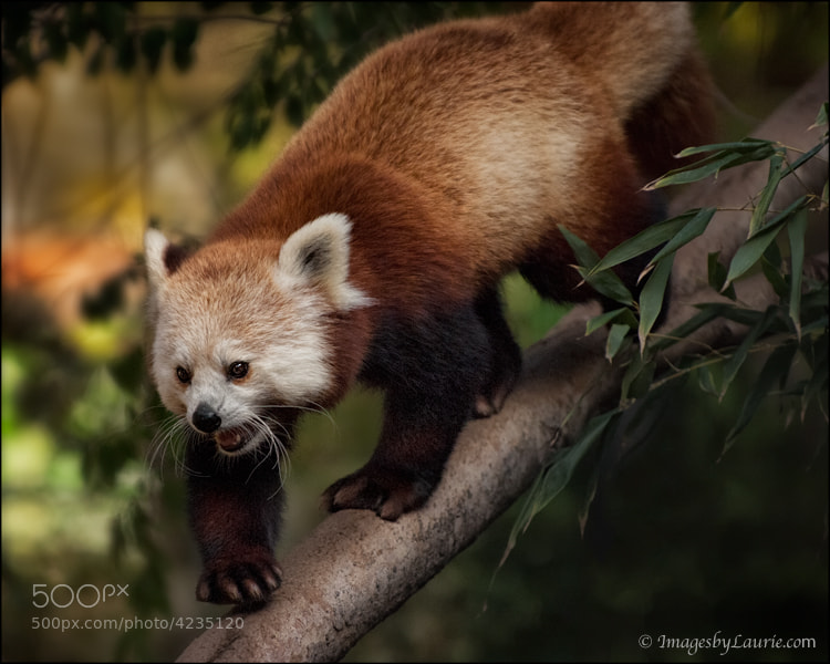 This Red Panda resembles more of a raccoon then a Panda and is so over-the-top cute! Beautiful two-toned reddish color coat with a sweet round face and ringed tail.