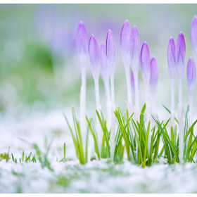 Harbingers of spring by Maria Netsounski on 500px.com