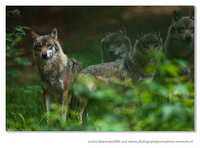 Photograph Wolves by Loulou Beavers on 500px