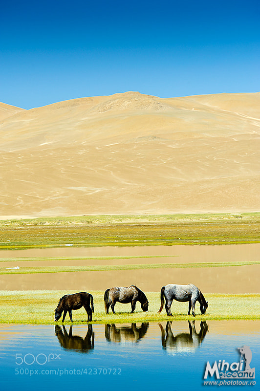 Photograph Tibetan Horses by Mihai Moiceanu on 500px