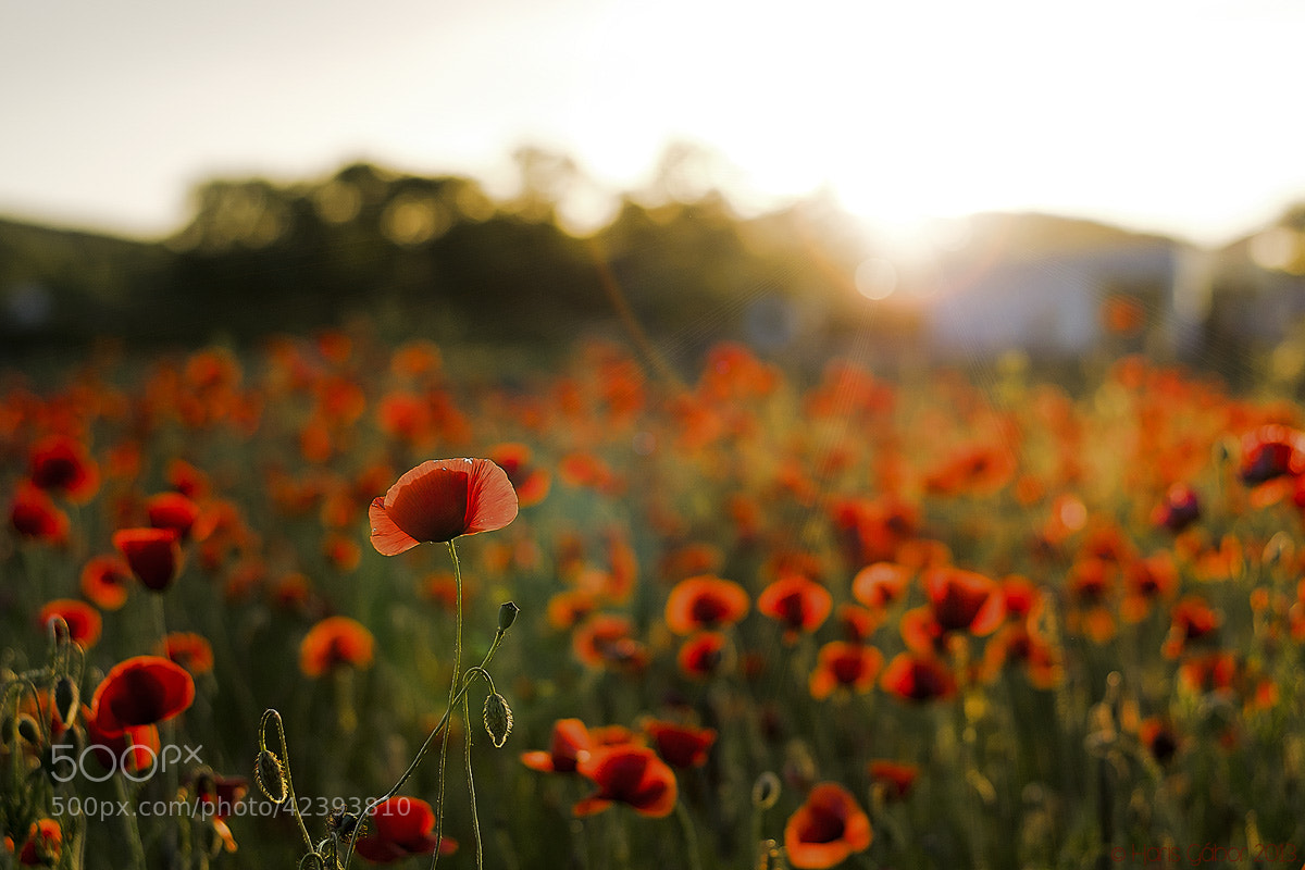 Photograph Poppies by HGL _Photo on 500px