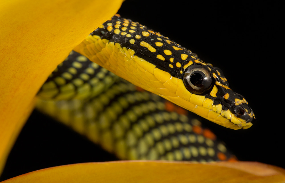 Photograph Paradise snake by Angi Wallace on 500px