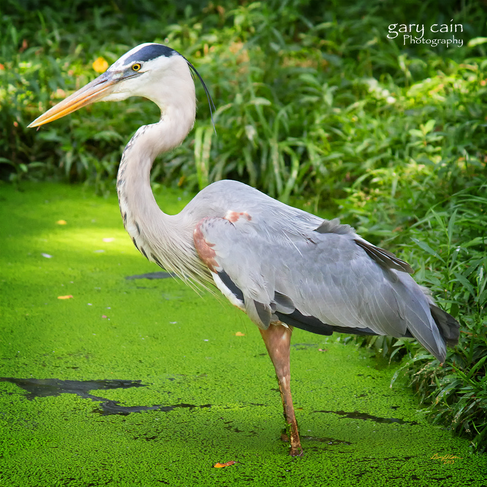 Photograph Great Blue Heron in Duckweed Pond by Gary Cain on 500px