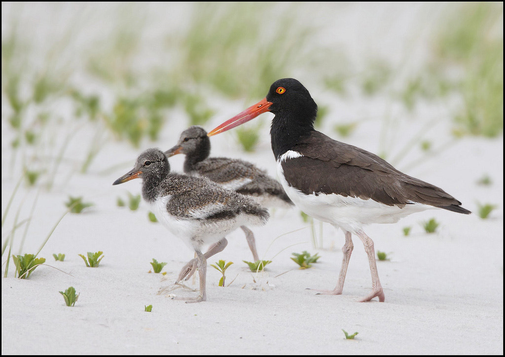 Photograph Oystercatcher family by Sachin Saraf on 500px
