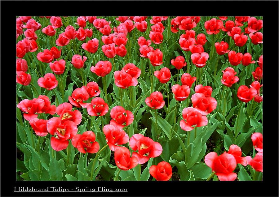 Spring Fling Tulips