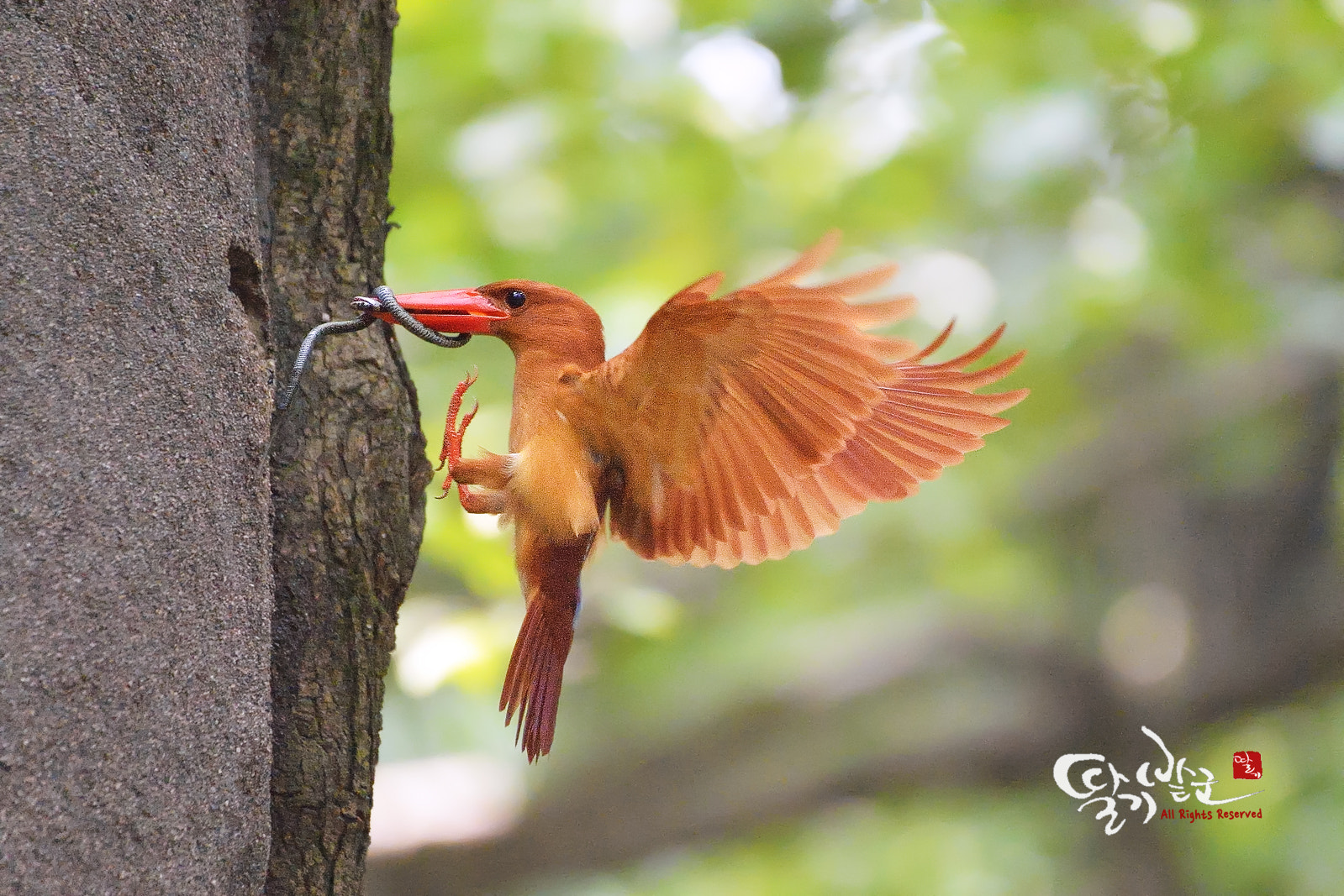 Photograph Ruddy kingfisher by Jung-Rae Cho on 500px