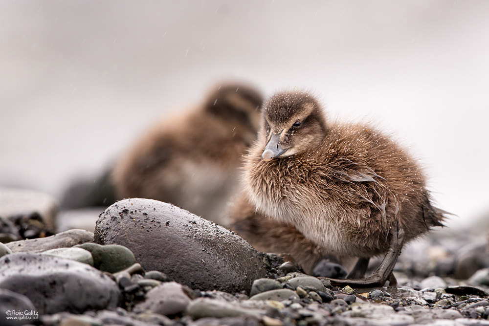Photograph Little Duckling by Roie Galitz on 500px