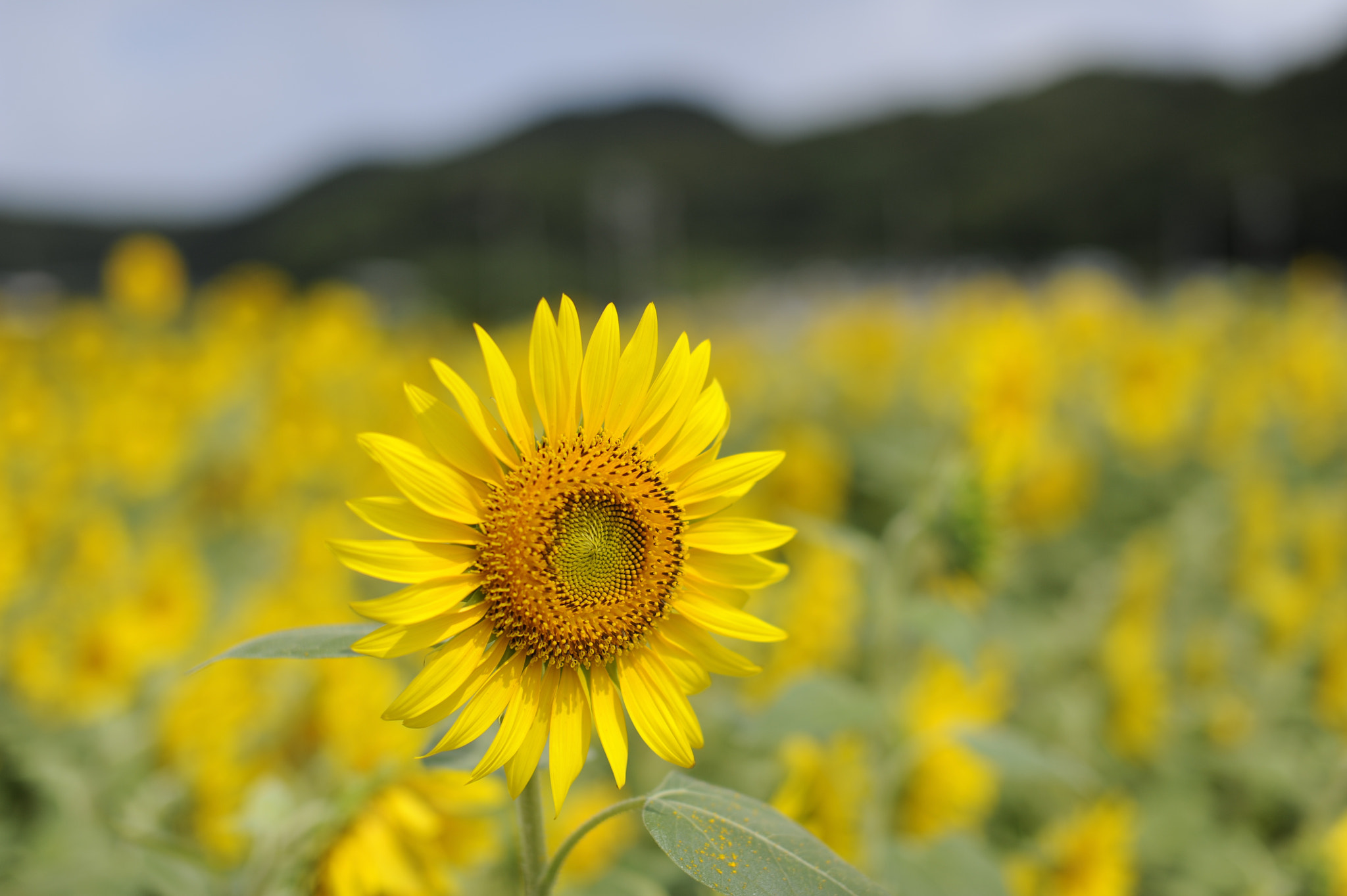 Photograph Sunflower by Bong Grit on 500px