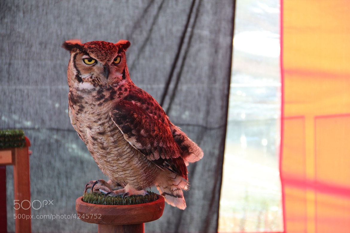 Photograph Owl by Miguel López on 500px