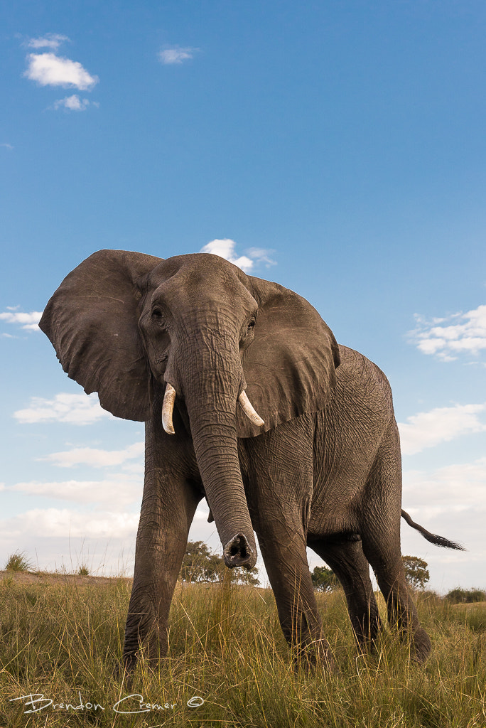 Photograph Elephant Up Close by Brendon Cremer on 500px