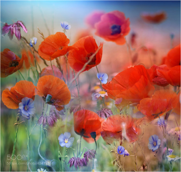 Photograph Coquelicots farfouillis by Pierrette Lu on 500px