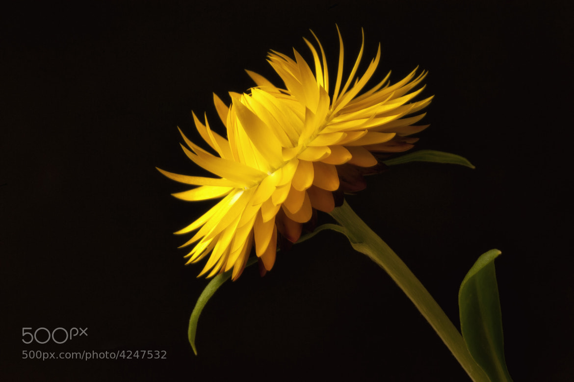 Photograph StrawFlower by Wayne Bennett on 500px