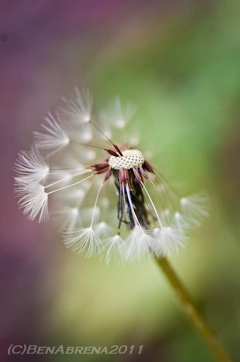 Photograph Dandelion by Ben Abrena on 500px