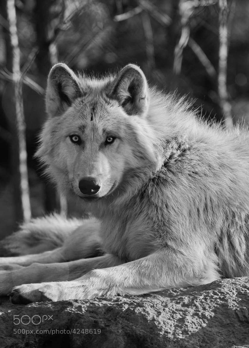 Photograph Gray Wolf by Lauren Dixon on 500px